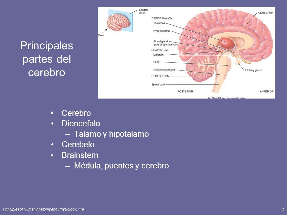 Principles of Human Anatomy and Physiology, 11e5 Principales partes del cerebro Cerebro Diencefalo –Talamo y hipotalamo Cerebelo Brainstem –Médula, pu
