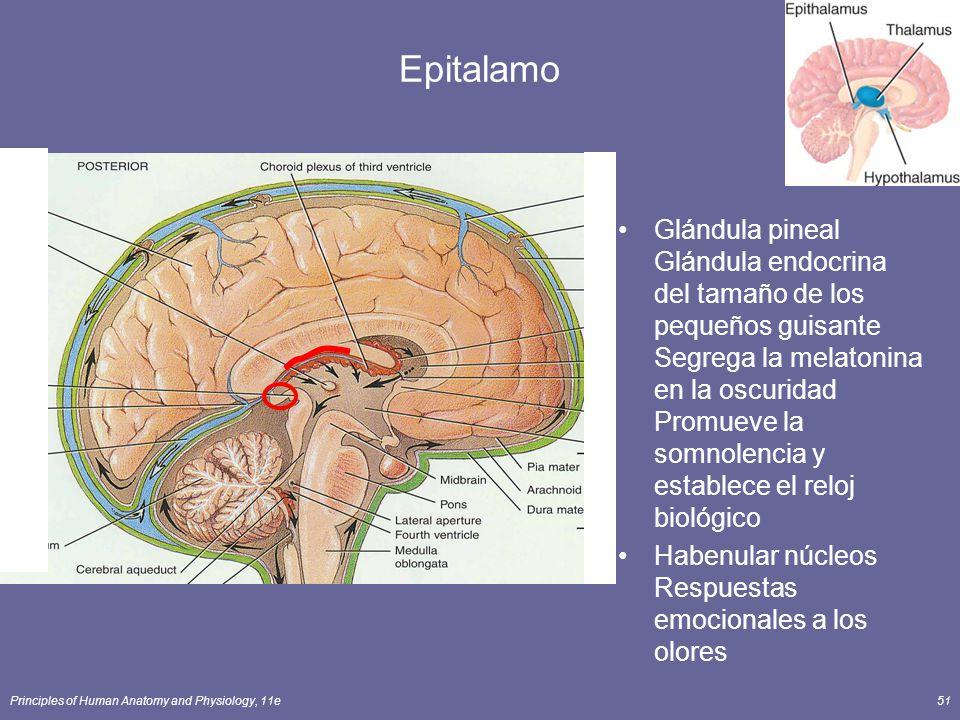 Principles of Human Anatomy and Physiology, 11e51 Epitalamo Glándula pineal Glándula endocrina del tamaño de los pequeños guisante Segrega la melatoni