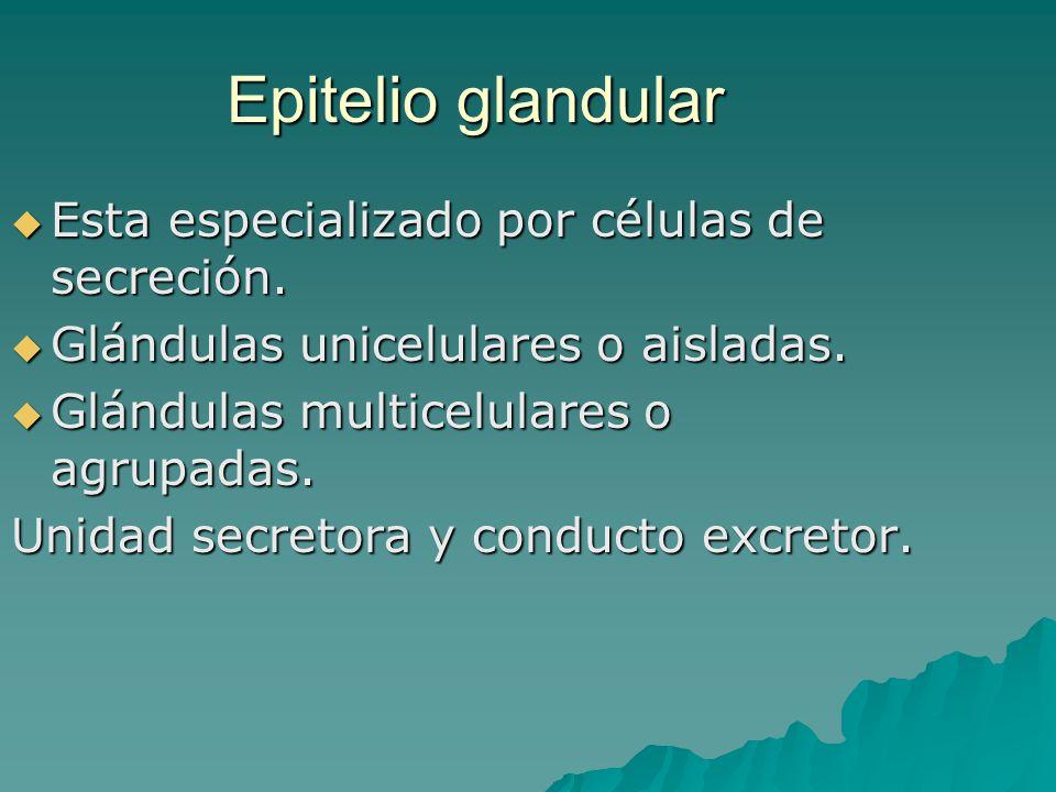 Epitelio glandular Esta especializado por células de secreción. Esta especializado por células de secreción. Glándulas unicelulares o aisladas. Glándu