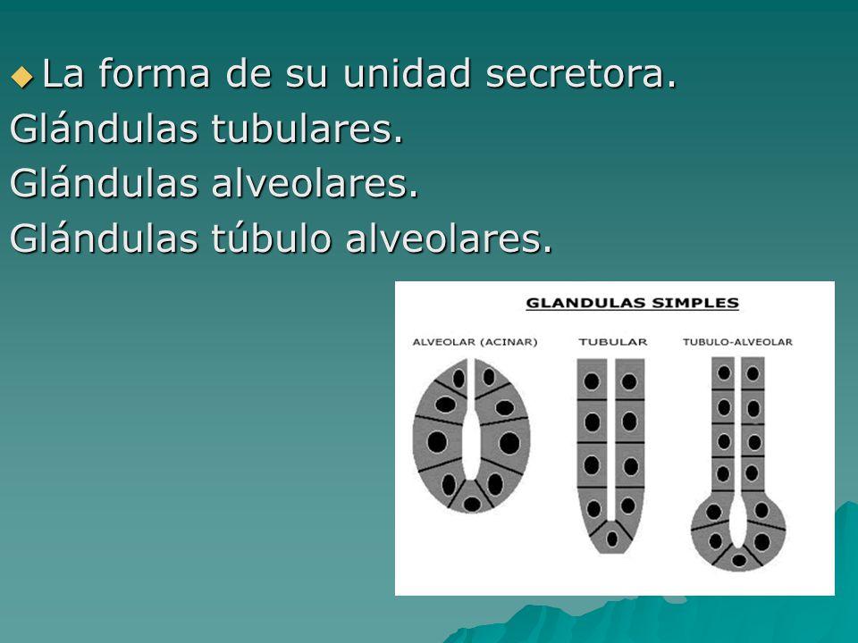 La forma de su unidad secretora. La forma de su unidad secretora. Glándulas tubulares. Glándulas alveolares. Glándulas túbulo alveolares.