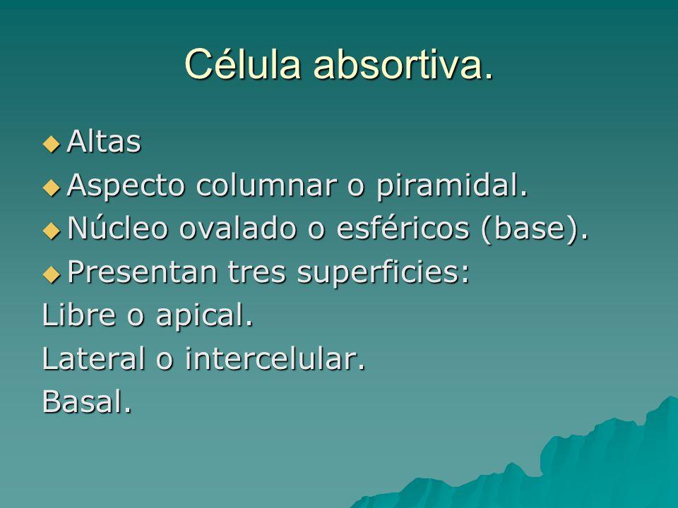 Célula absortiva. Altas Altas Aspecto columnar o piramidal. Aspecto columnar o piramidal. Núcleo ovalado o esféricos (base). Núcleo ovalado o esférico