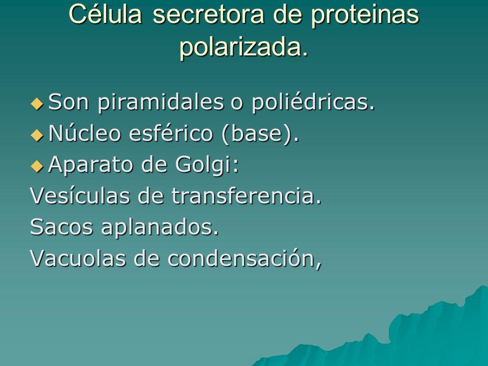 Célula secretora de proteinas polarizada. Son piramidales o poliédricas. Son piramidales o poliédricas. Núcleo esférico (base). Núcleo esférico (base)