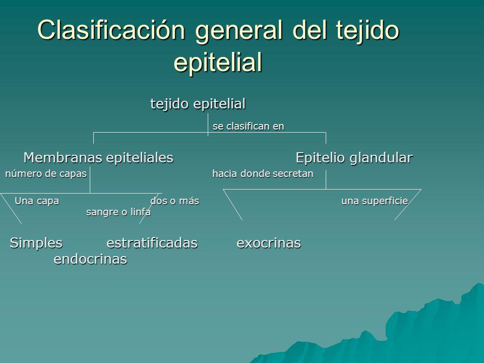 Clasificación general del tejido epitelial tejido epitelial se clasifican en se clasifican en Membranas epitelialesEpitelio glandular número de capas hacia donde secretan Una capa dos o más una superficie sangre o linfa Una capa dos o más una superficie sangre o linfa Simples estratificadas exocrinas endocrinas Simples estratificadas exocrinas endocrinas