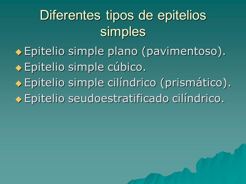 Diferentes tipos de epitelios simples Epitelio simple plano (pavimentoso). Epitelio simple plano (pavimentoso). Epitelio simple cúbico. Epitelio simpl
