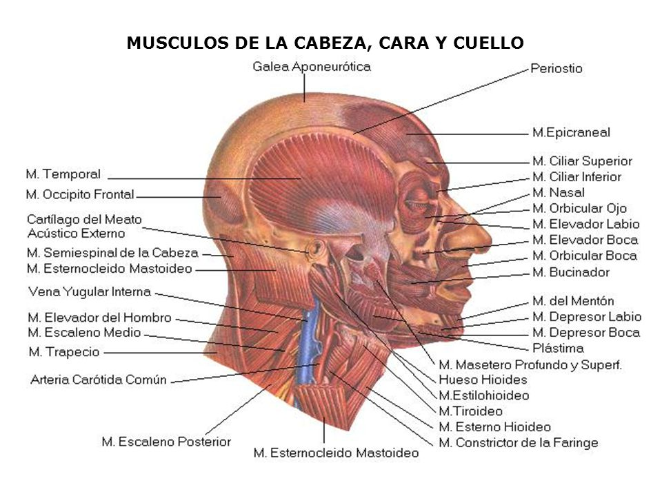Músculo borla del mentón o Músculo mentoniano: Situado en la barba, entre la parte superior de la sínfisis y la eminencia mentoniana; par, pequeño, conoideo.