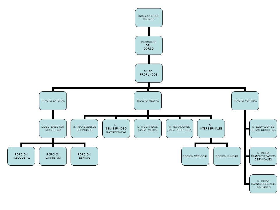 MUSCULOS DEL TRONCO MUSCULOS DEL DORSO MUSC. PROFUNDOS TRACTO LATERAL MUSC. ERECTOR MUSCULAR PORCIÓN ILEOCOSTAL PORCIÓN LONGISIMO PORCIÓN ESPINAL TRAC
