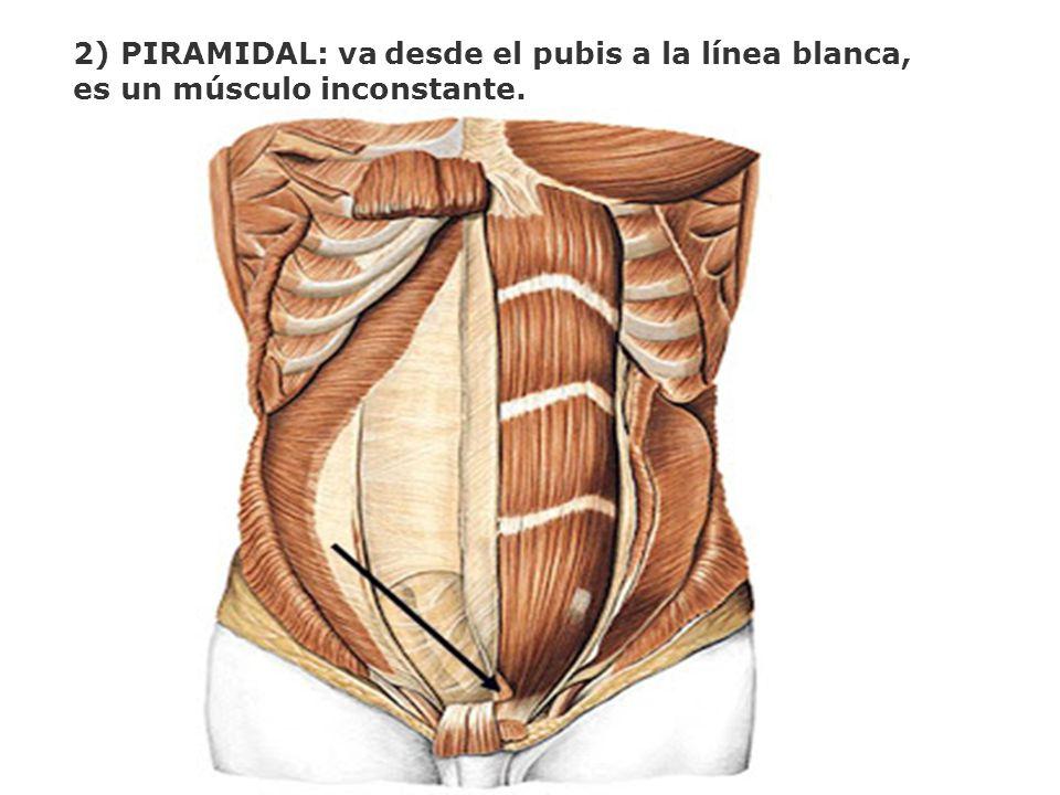 2) PIRAMIDAL: va desde el pubis a la línea blanca, es un músculo inconstante.
