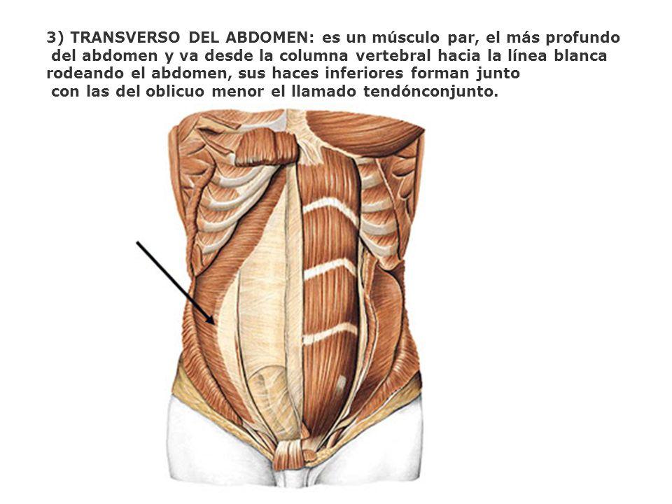 3) TRANSVERSO DEL ABDOMEN: es un músculo par, el más profundo del abdomen y va desde la columna vertebral hacia la línea blanca rodeando el abdomen, s