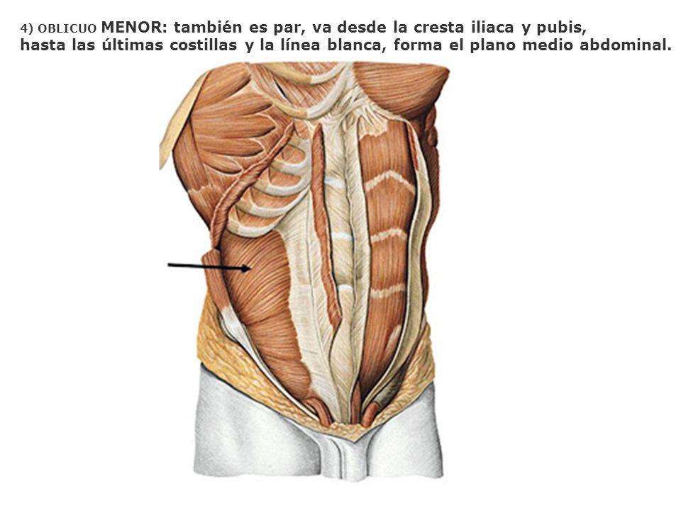 4) OBLICUO MENOR: también es par, va desde la cresta iliaca y pubis, hasta las últimas costillas y la línea blanca, forma el plano medio abdominal.