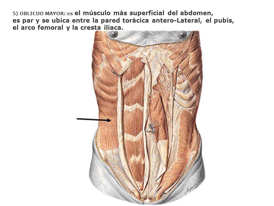 5) OBLICUO MAYOR: es el músculo más superficial del abdomen, es par y se ubica entre la pared torácica antero-Lateral, el pubis, el arco femoral y la