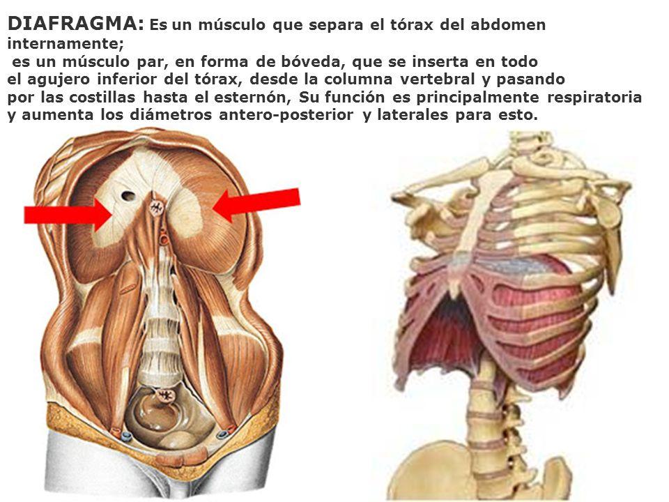 DIAFRAGMA: Es un músculo que separa el tórax del abdomen internamente; es un músculo par, en forma de bóveda, que se inserta en todo el agujero inferi