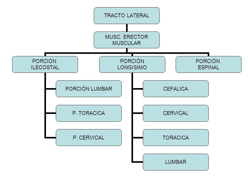 TRACTO LATERAL MUSC. ERECTOR MUSCULAR PORCIÓN ILECOSTAL PORCIÓN LUMBAR P. TORACICA P. CERVICAL PORCIÓN LONGISIMO CEFALICA CERVICAL TORACICA LUMBAR POR