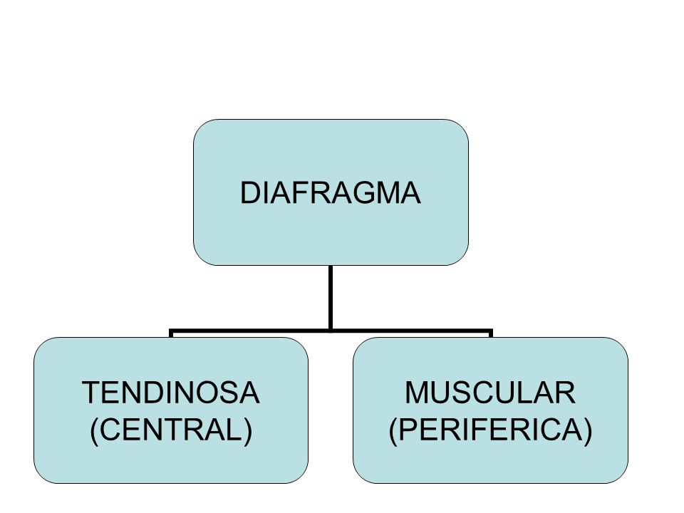 DIAFRAGMA TENDINOSA (CENTRAL) MUSCULAR (PERIFERICA)