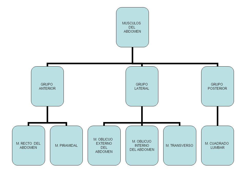 MUSCULOS DEL ABDOMEN GRUPO ANTERIOR M. RECTO DEL ABDOMEN M. PIRAMIDAL GRUPO LATERAL M. OBLICUO EXTERNO DEL ABDOMEN M. OBLICUO INTERNO DEL ABDOMEN M. T