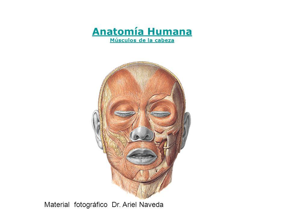 Anatomía Humana Músculos de la cabeza Material fotográfico Dr. Ariel Naveda
