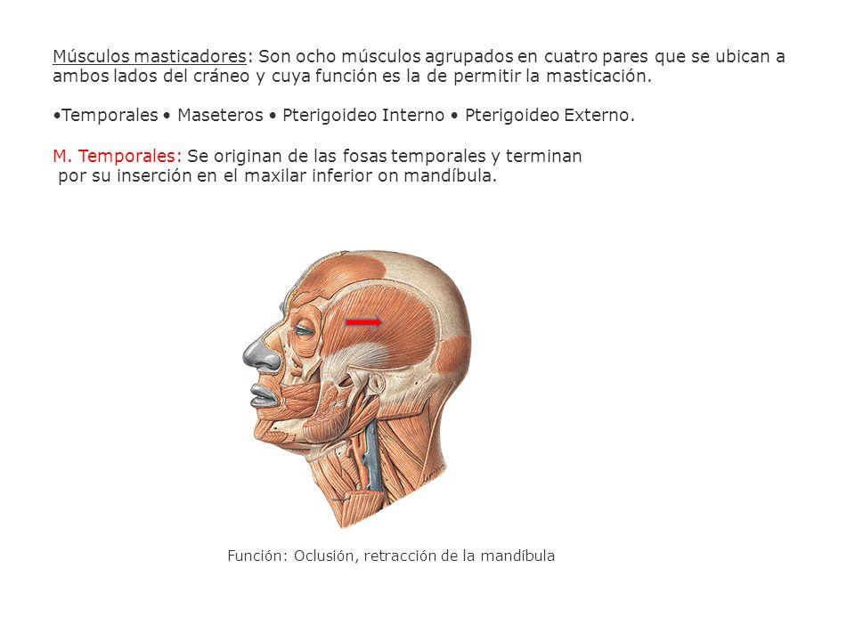Músculos masticadores: Son ocho músculos agrupados en cuatro pares que se ubican a ambos lados del cráneo y cuya función es la de permitir la masticac