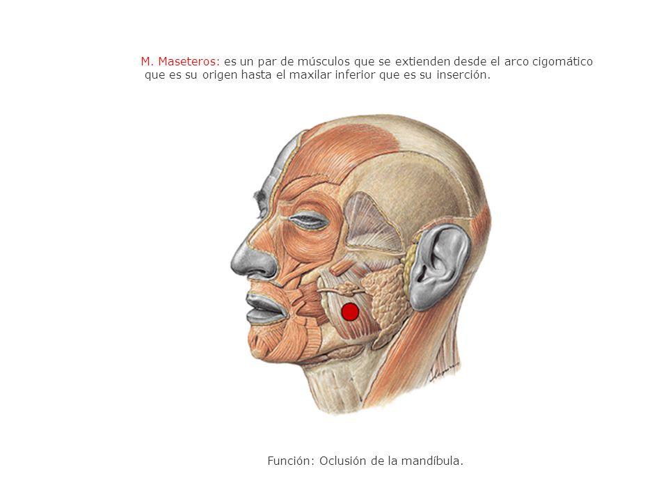 M. Maseteros: es un par de músculos que se extienden desde el arco cigomático que es su origen hasta el maxilar inferior que es su inserción. Función: