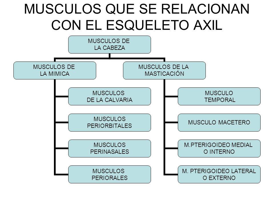 MUSCULOS DE LA MIMICA MUSCULOS DE LA CALVARIA MUSC.