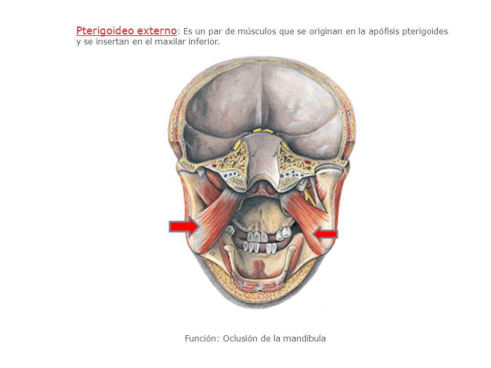 Pterigoideo externo : Es un par de músculos que se originan en la apófisis pterigoides y se insertan en el maxilar inferior. Función: Oclusión de la m