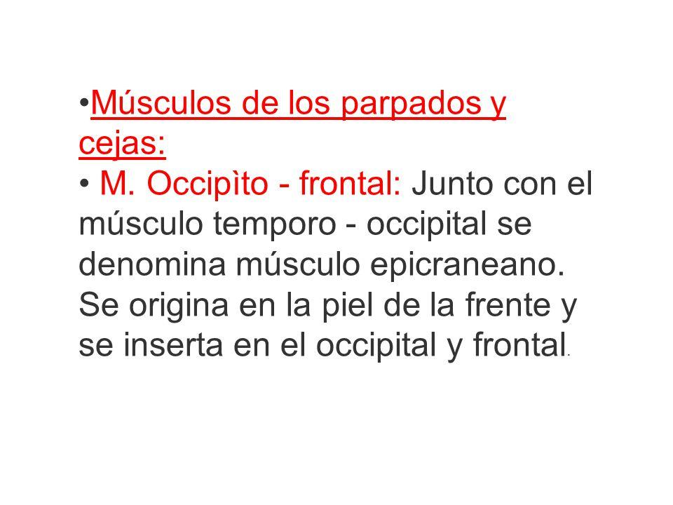 Músculos de los parpados y cejas: M. Occipìto - frontal: Junto con el músculo temporo - occipital se denomina músculo epicraneano. Se origina en la pi