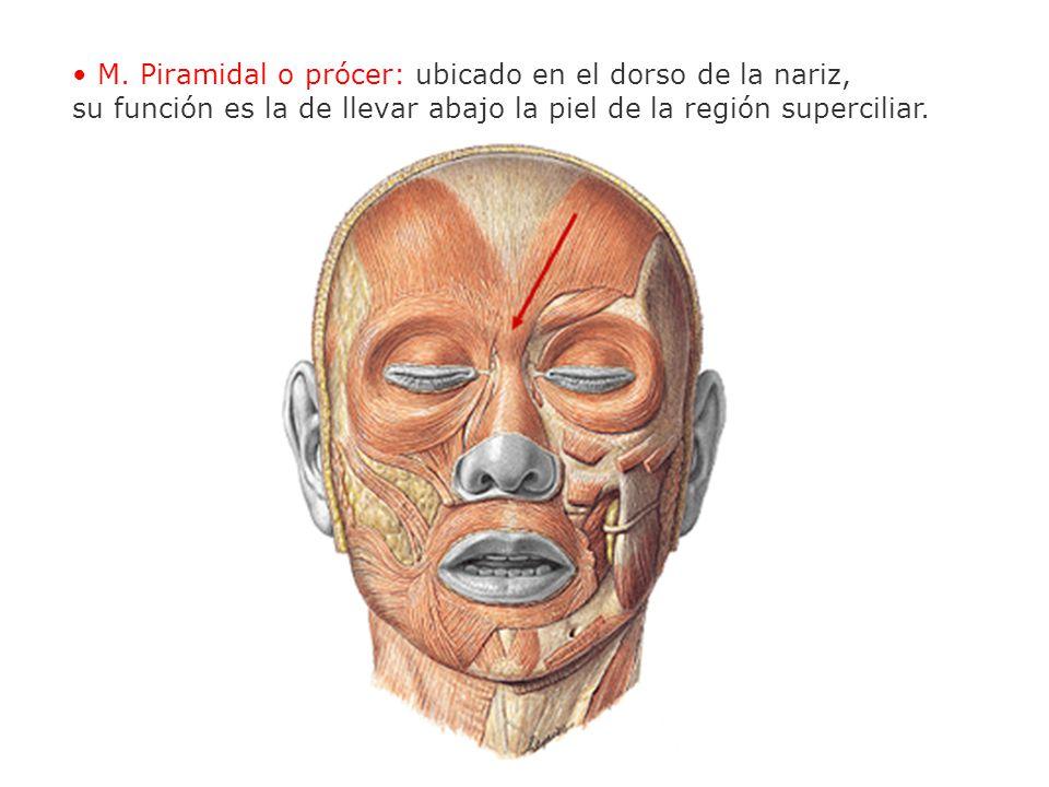 M. Piramidal o prócer: ubicado en el dorso de la nariz, su función es la de llevar abajo la piel de la región superciliar.