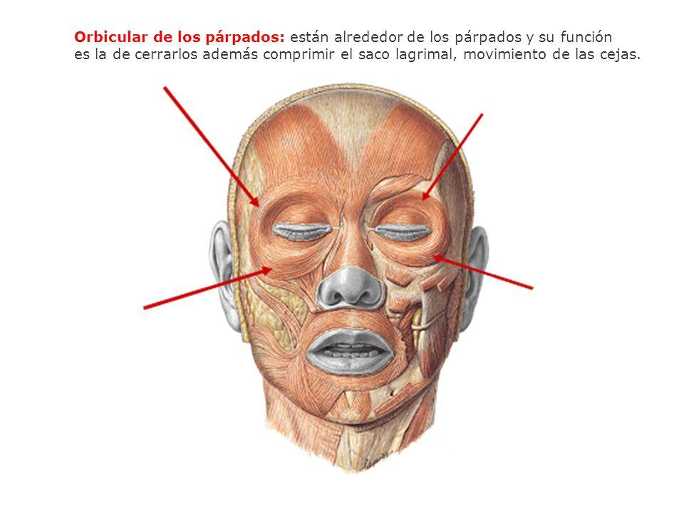 Orbicular de los párpados: están alrededor de los párpados y su función es la de cerrarlos además comprimir el saco lagrimal, movimiento de las cejas.