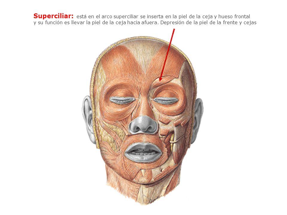 Superciliar: está en el arco superciliar se inserta en la piel de la ceja y hueso frontal y su función es llevar la piel de la ceja hacia afuera. Depr