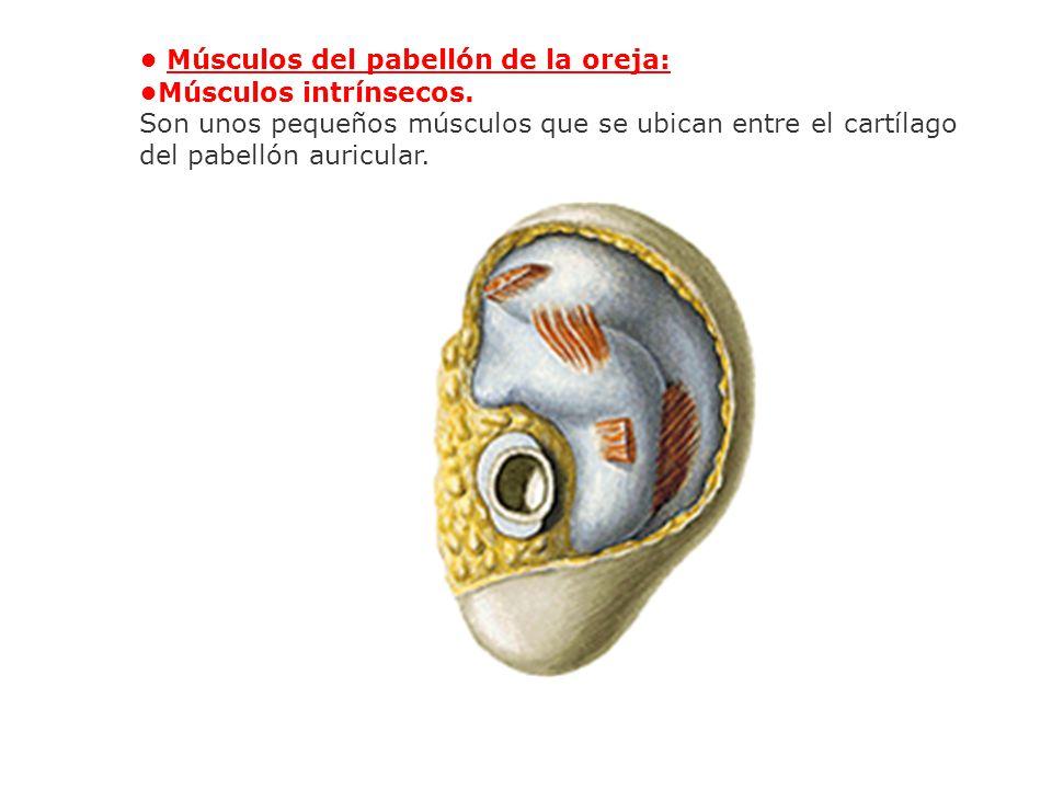 Músculos del pabellón de la oreja: Músculos intrínsecos. Son unos pequeños músculos que se ubican entre el cartílago del pabellón auricular.