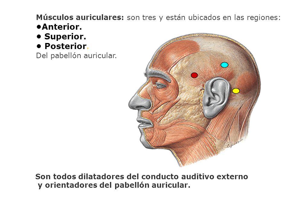 Músculos auriculares: son tres y están ubicados en las regiones: Anterior. Superior. Posterior. Del pabellón auricular. Son todos dilatadores del cond