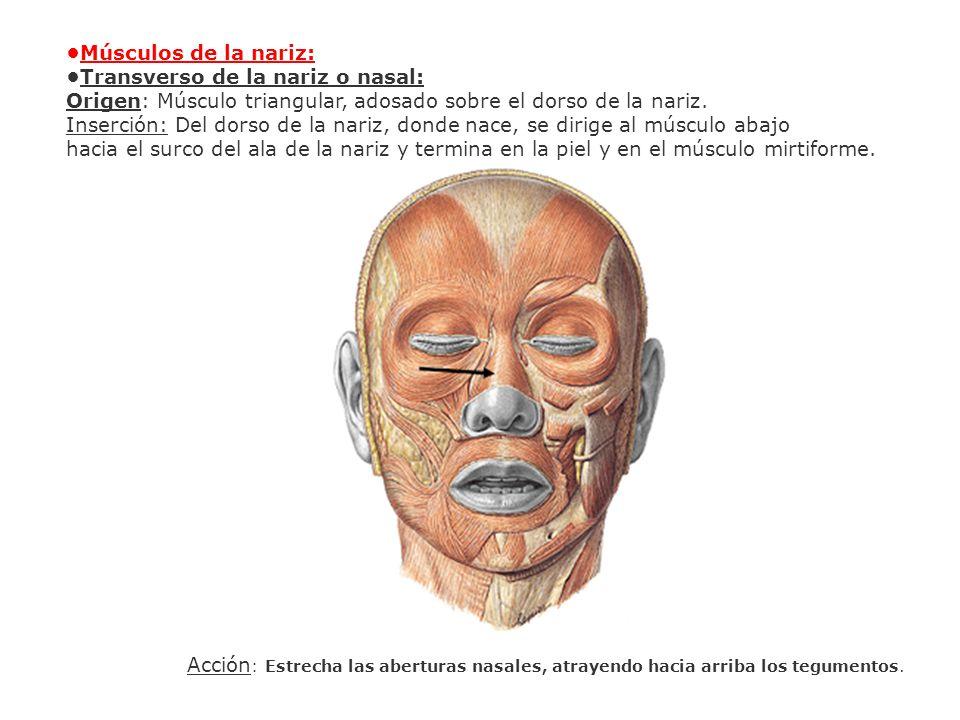 Músculos de la nariz: Transverso de la nariz o nasal: Origen: Músculo triangular, adosado sobre el dorso de la nariz. Inserción: Del dorso de la nariz