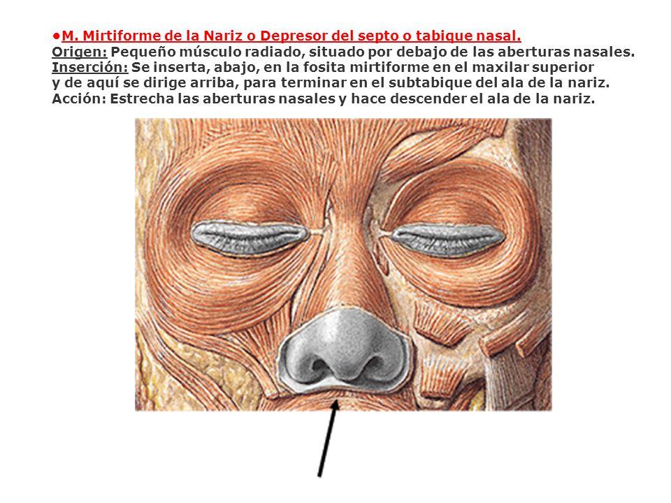 M. Mirtiforme de la Nariz o Depresor del septo o tabique nasal. Origen: Pequeño músculo radiado, situado por debajo de las aberturas nasales. Inserció