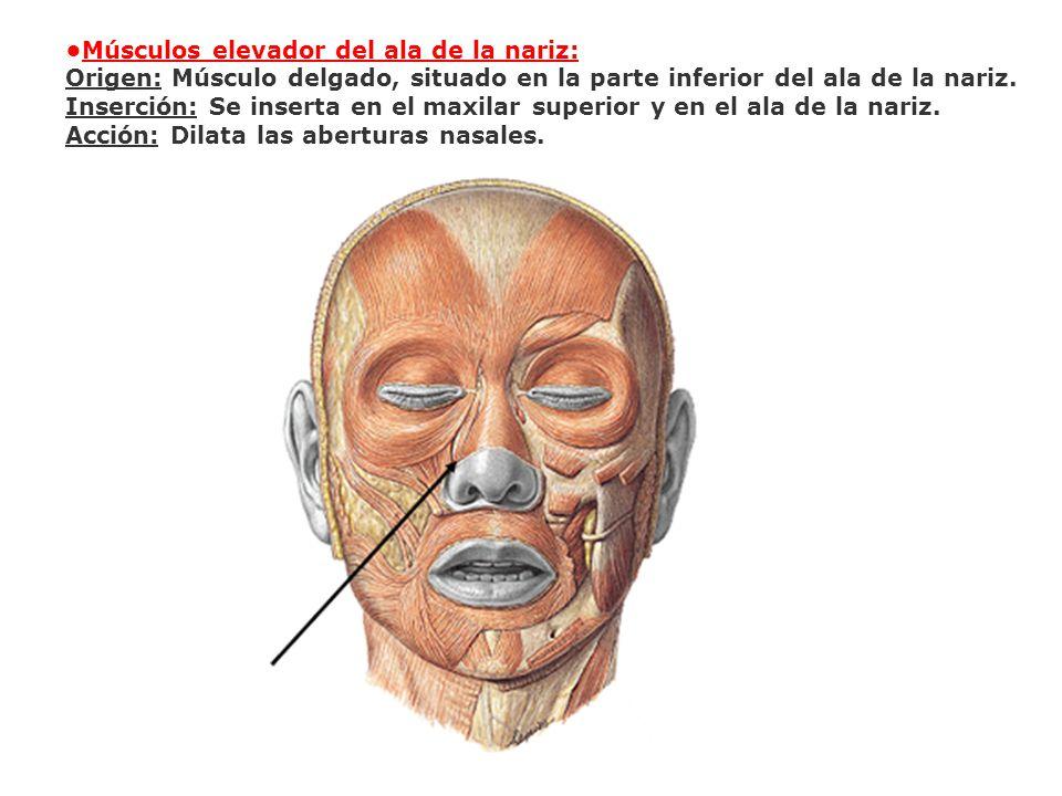 Músculos elevador del ala de la nariz: Origen: Músculo delgado, situado en la parte inferior del ala de la nariz. Inserción: Se inserta en el maxilar