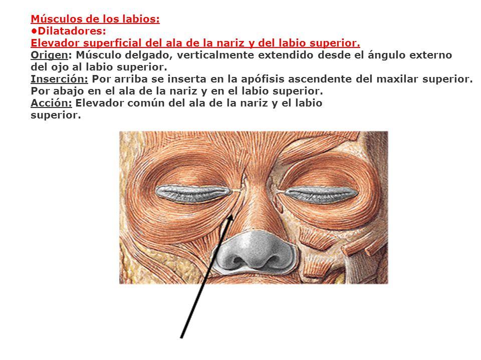 Músculos de los labios: Dilatadores: Elevador superficial del ala de la nariz y del labio superior. Origen: Músculo delgado, verticalmente extendido d