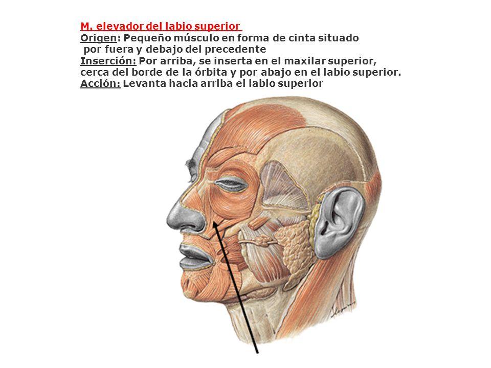 M. elevador del labio superior Origen: Pequeño músculo en forma de cinta situado por fuera y debajo del precedente Inserción: Por arriba, se inserta e