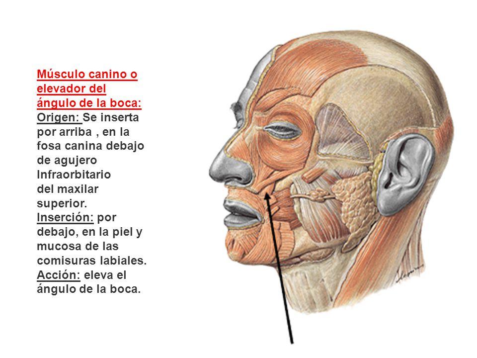 Músculo canino o elevador del ángulo de la boca: Origen: Se inserta por arriba, en la fosa canina debajo de agujero Infraorbitario del maxilar superio