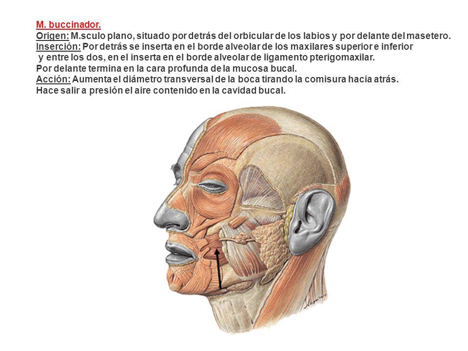 M. buccinador. Origen: M.sculo plano, situado por detrás del orbicular de los labios y por delante del masetero. Inserción: Por detrás se inserta en e