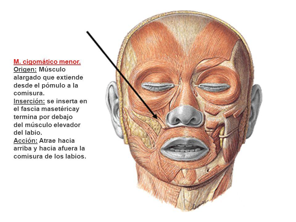 M. cigomático menor. Origen: Músculo alargado que extiende desde el pómulo a la comisura. Inserción: se inserta en el fascia masetéricay termina por d