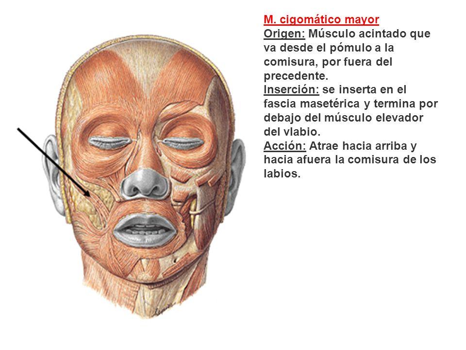 M. cigomático mayor Origen: Músculo acintado que va desde el pómulo a la comisura, por fuera del precedente. Inserción: se inserta en el fascia maseté