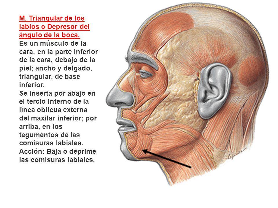 M. Triangular de los labios o Depresor del ángulo de la boca. Es un músculo de la cara, en la parte inferior de la cara, debajo de la piel; ancho y de