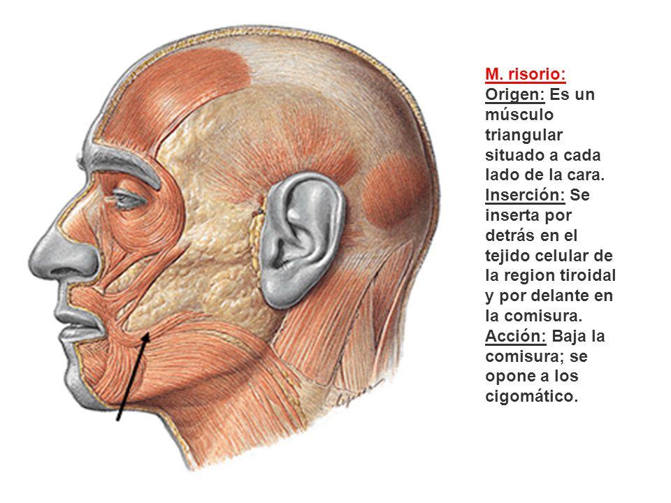 M. risorio: Origen: Es un músculo triangular situado a cada lado de la cara. Inserción: Se inserta por detrás en el tejido celular de la region tiroid