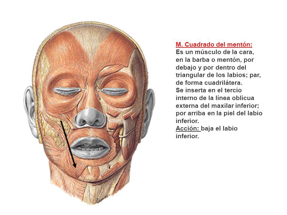 M. Cuadrado del mentón: Es un músculo de la cara, en la barba o mentón, por debajo y por dentro del triangular de los labios; par, de forma cuadriláte