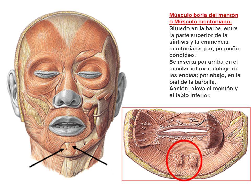 Músculo borla del mentón o Músculo mentoniano: Situado en la barba, entre la parte superior de la sínfisis y la eminencia mentoniana; par, pequeño, co