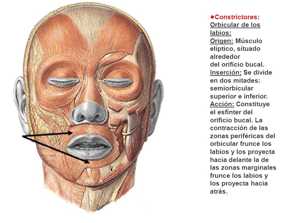 Constrictores: Orbicular de los labios: Origen: Músculo elíptico, situado alrededor del orificio bucal. Inserción: Se divide en dos mitades: semiorbic