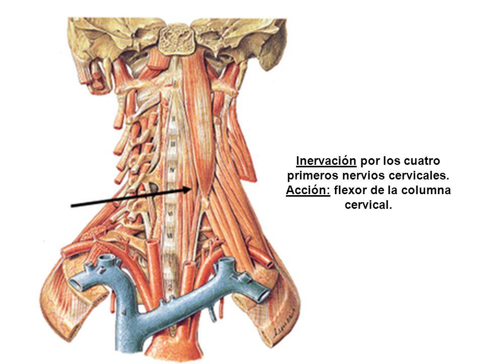 Inervación por los cuatro primeros nervios cervicales. Acción: flexor de la columna cervical.