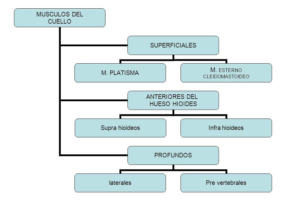 MUSCULOS DEL CUELLO SUPERFICIALES M. PLATISMA M. ESTERNO CLEIDOMASTOIDEO ANTERIORES DEL HUESO HIOIDES Supra hioideosInfra hioideos PROFUNDOS laterales