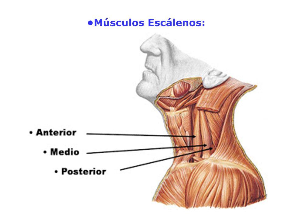Músculos Escálenos: