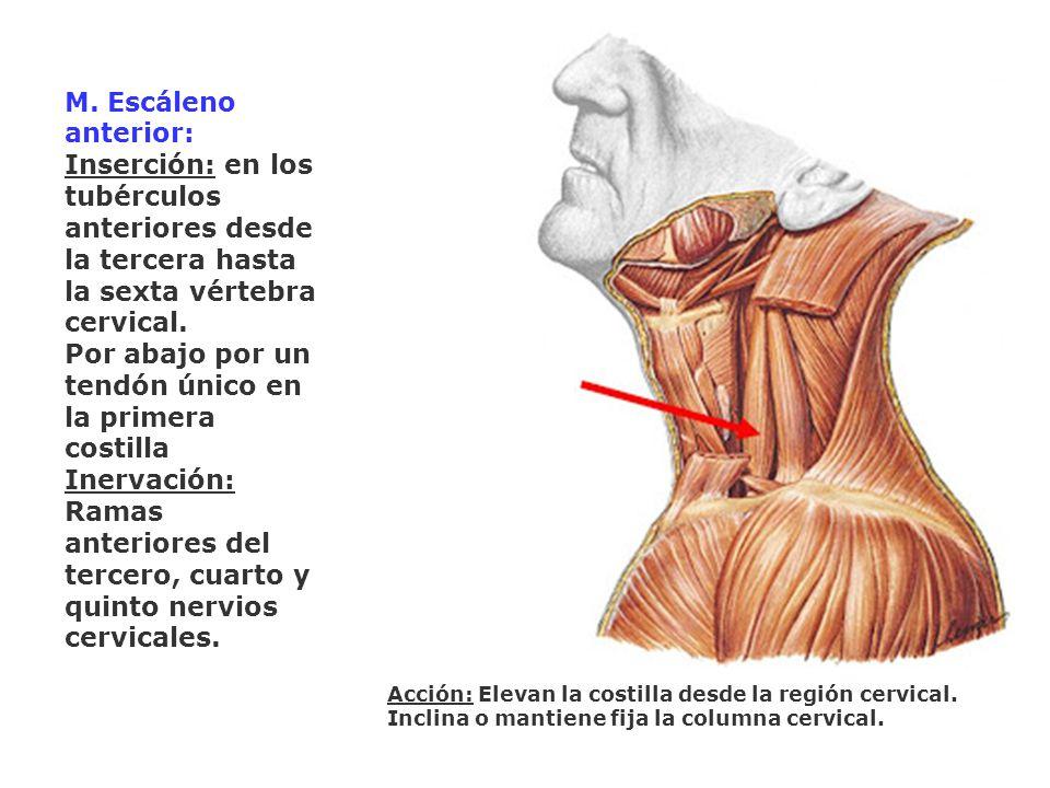 M. Escáleno anterior: Inserción: en los tubérculos anteriores desde la tercera hasta la sexta vértebra cervical. Por abajo por un tendón único en la p