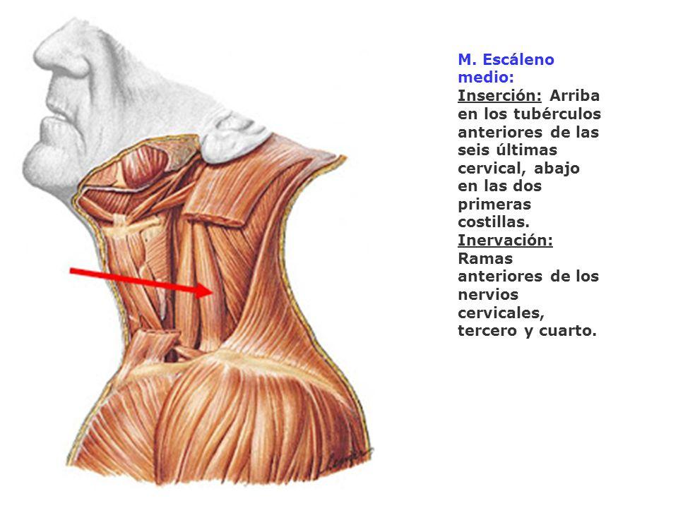 M. Escáleno medio: Inserción: Arriba en los tubérculos anteriores de las seis últimas cervical, abajo en las dos primeras costillas. Inervación: Ramas