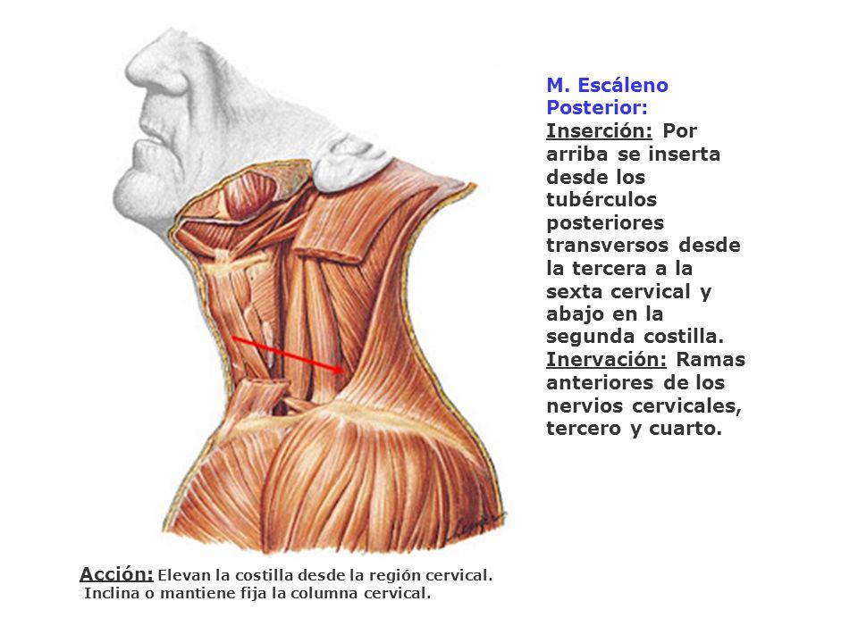 M. Escáleno Posterior: Inserción: Por arriba se inserta desde los tubérculos posteriores transversos desde la tercera a la sexta cervical y abajo en l