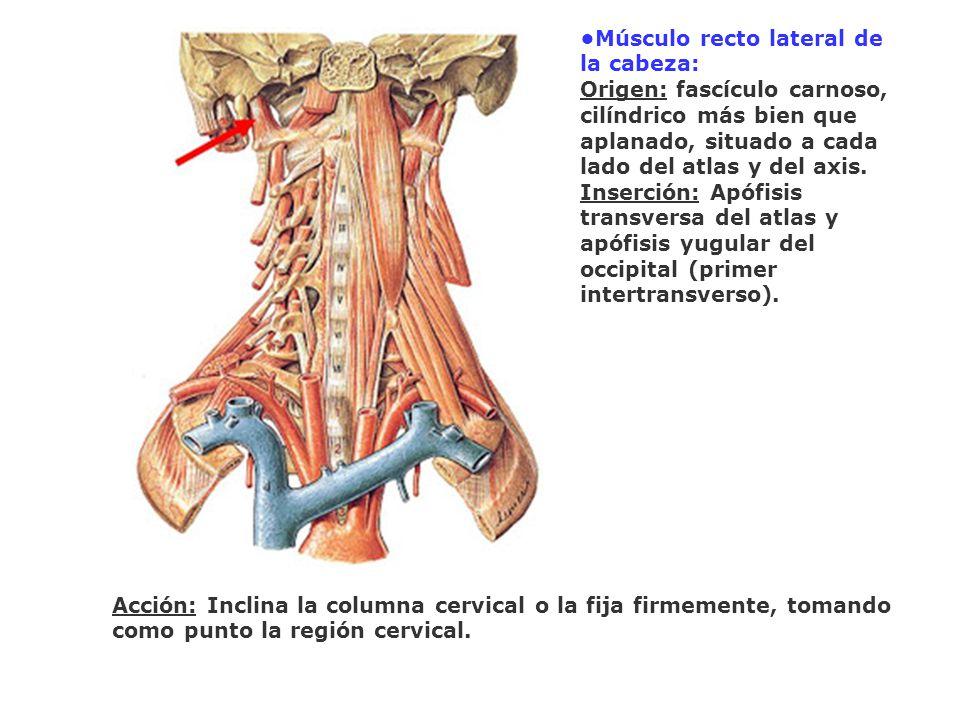 Músculo recto lateral de la cabeza: Origen: fascículo carnoso, cilíndrico más bien que aplanado, situado a cada lado del atlas y del axis. Inserción: